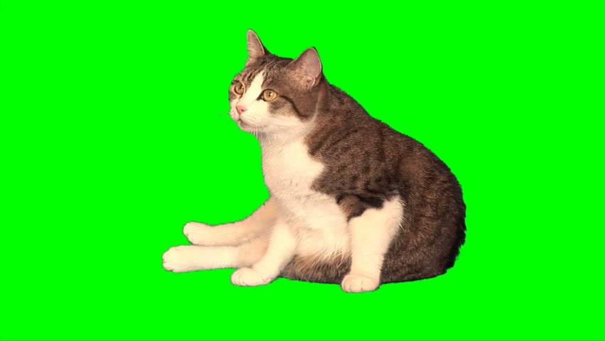 Big cat sits on green screen - HD stock footage clip