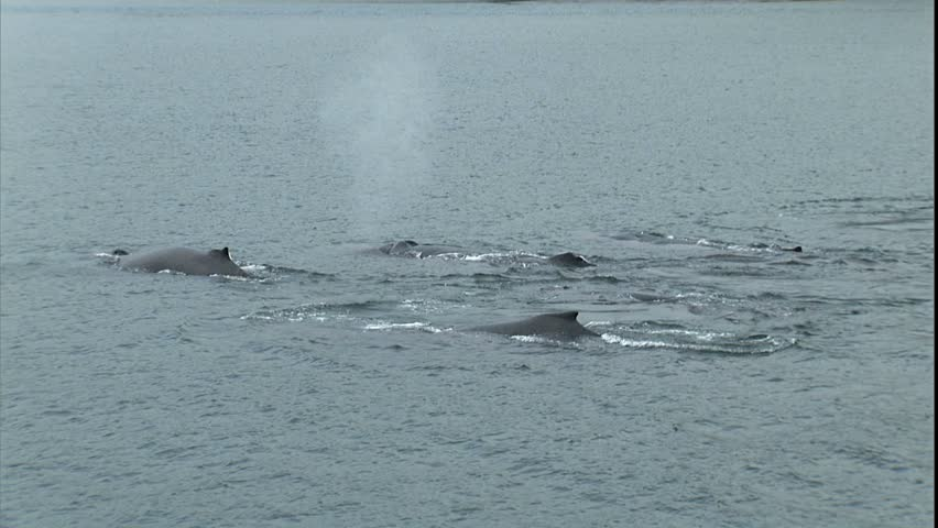 Synchronized Humpback Whale Pod Dive, Point Adolphus, Alaska - HD stock video clip