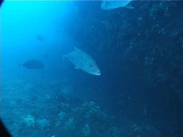 Giant trevally (Caranx ignobilis) underwater in Australia Australia - SD stock video clip