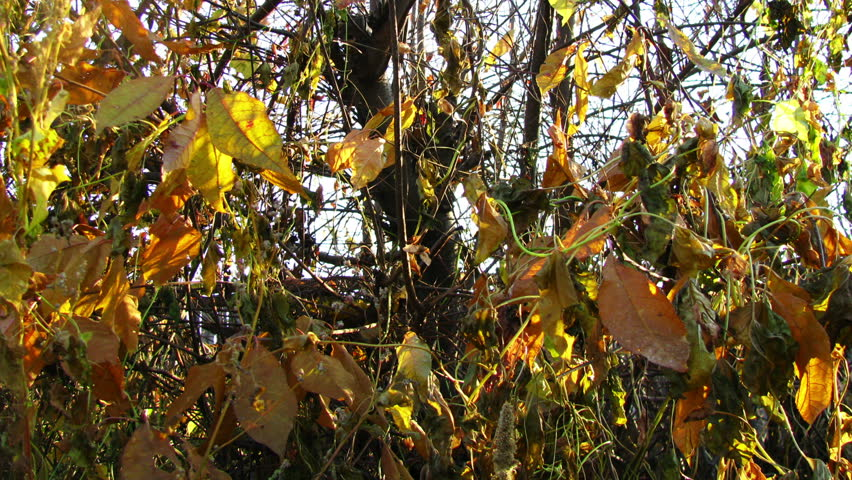Colorful bush leafs in late autumn dolly shot  - HD stock video clip