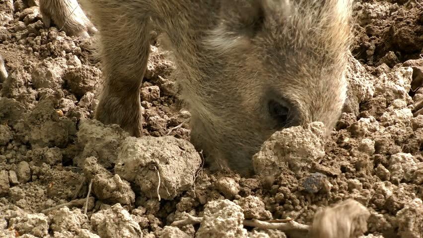 Closeup of a baby piglet wild hog   Shutterstock HD Video #2271926