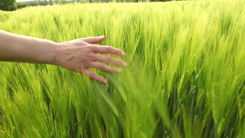 Slowmotion hands touching wheat during spring  | Shutterstock HD Video #2287865