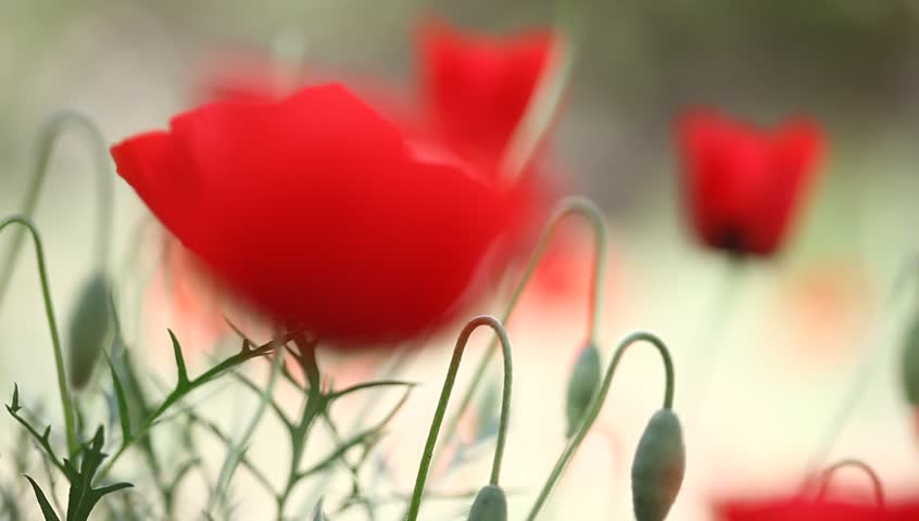 poppy field - HD stock footage clip