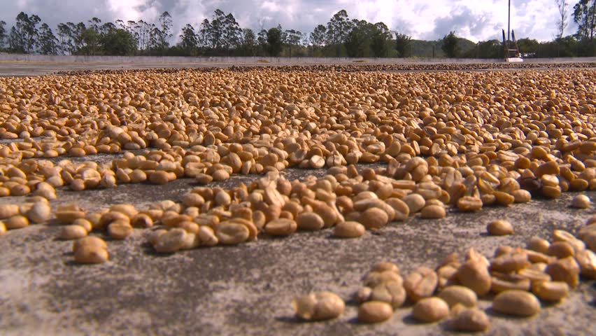 agriculture, coffee beans drying close up