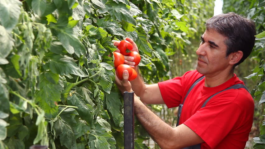 Farmer working in the greenhouse, picking tomato - HD stock footage clip