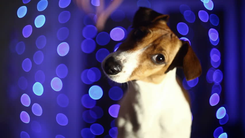 blue Background and dog - HD stock video clip