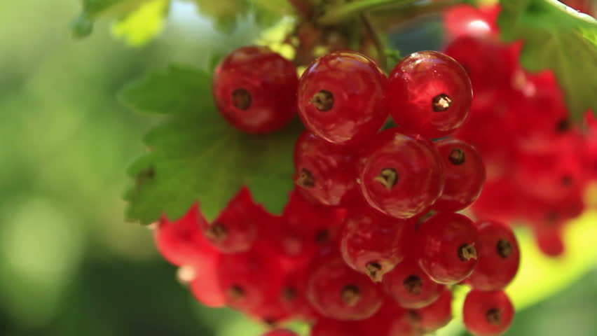 Redcurrant close up