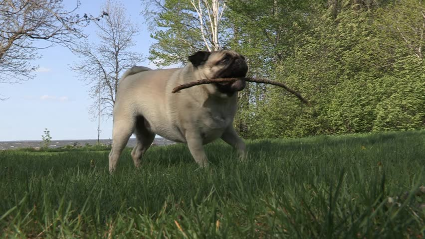Pet Pug Dog Chewing on Stick - HD stock video clip