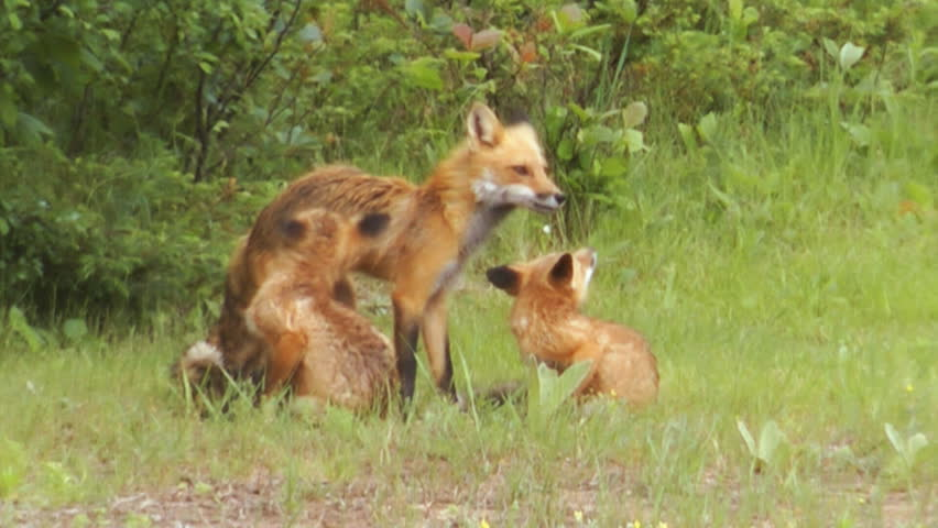 Family Of Red Foxes (Vulpes vulpes), A Mother Vixen Fox Grooms Her Kits Playing In The Wild