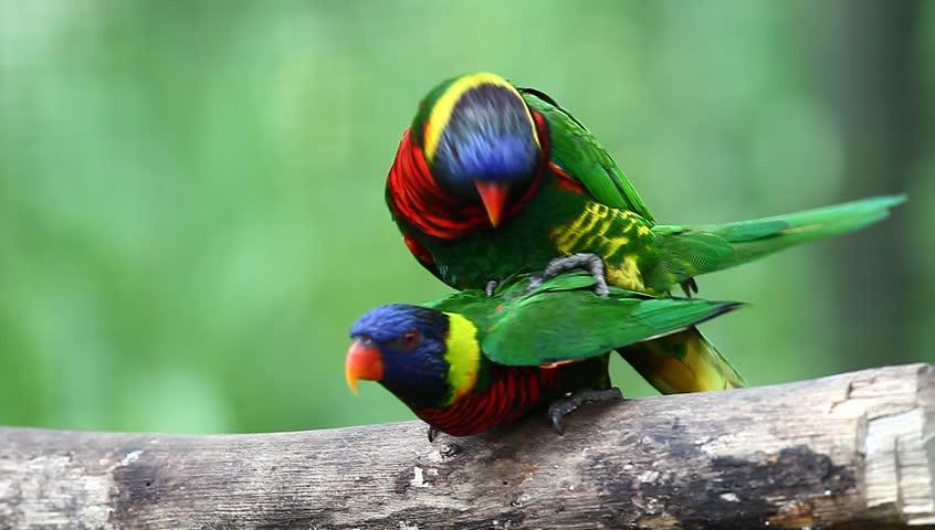Rainbow Lorikeet (Trichoglossus haematodus) bird mating in high definition (HD) - HD stock video clip
