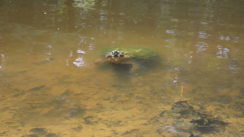 Snapping turtle in the shallow water of a small pond - HD stock footage clip