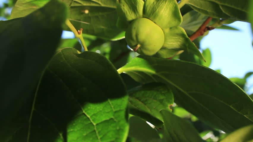 Japanese persimmon fruit tree