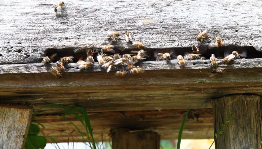 Bees at the entrance to the hive close up - HD stock video clip