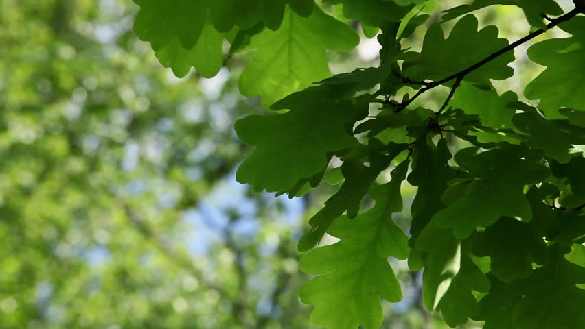 In The Shadow Under The Branches Of Trees, Oak Leaves ...