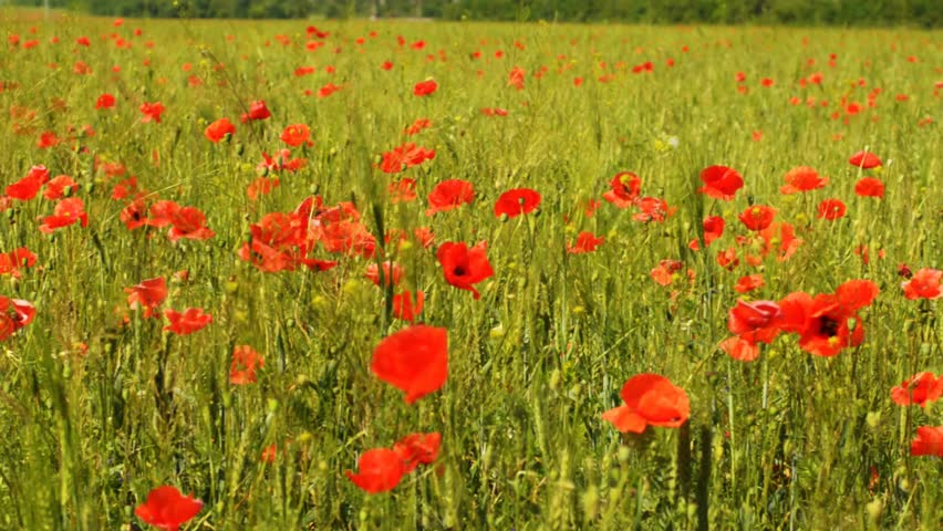 Poppy field spring time - HD stock footage clip