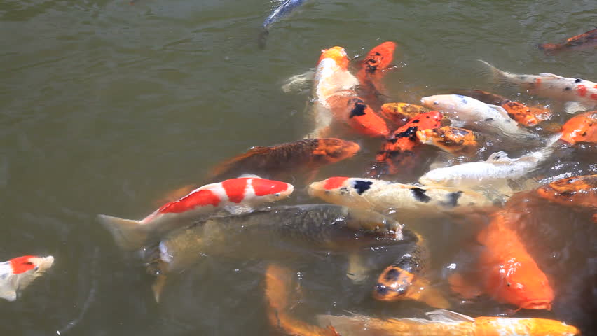 Koi Fish Swimming In Pond Freely In Japanese Garden In ... Japanese Koi Fish Swimming