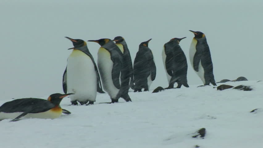 South Georgia and the South Sandwich Islands: king penguin walking in a snow.