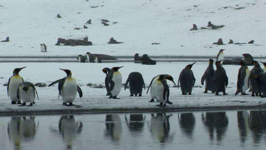 South Georgia and the South Sandwich Islands: crowd of thousands of king penguins on seashore.