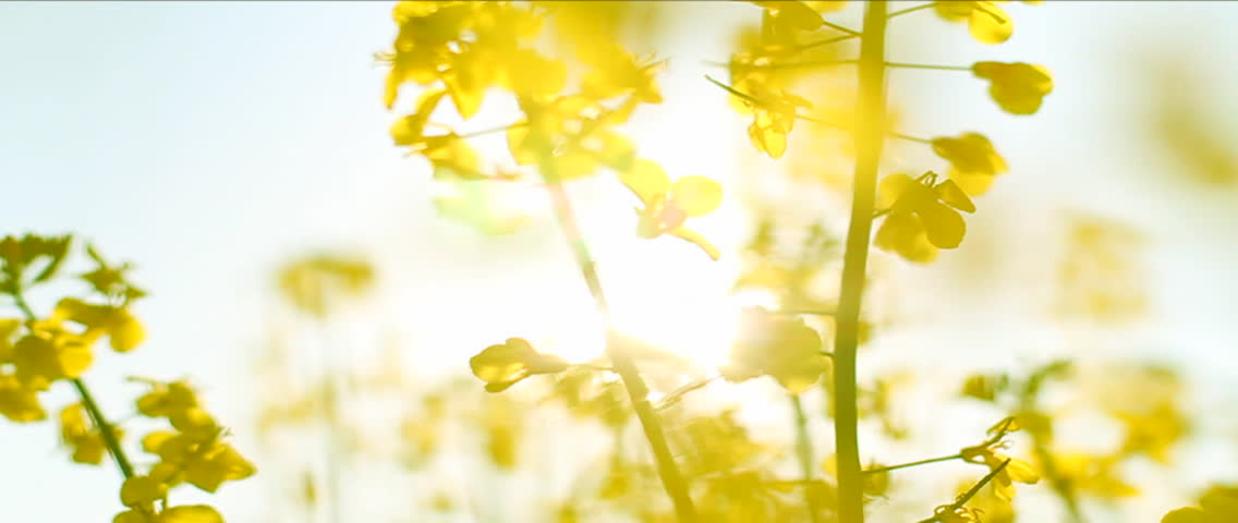Several Rapeseed stalks. Sunlight shining through, towards the camera. Yellow flowers. - HD stock video clip