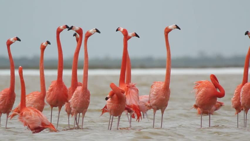 pink flamingos in the salt lagoons, ria largartos, mexico - HD stock footage clip