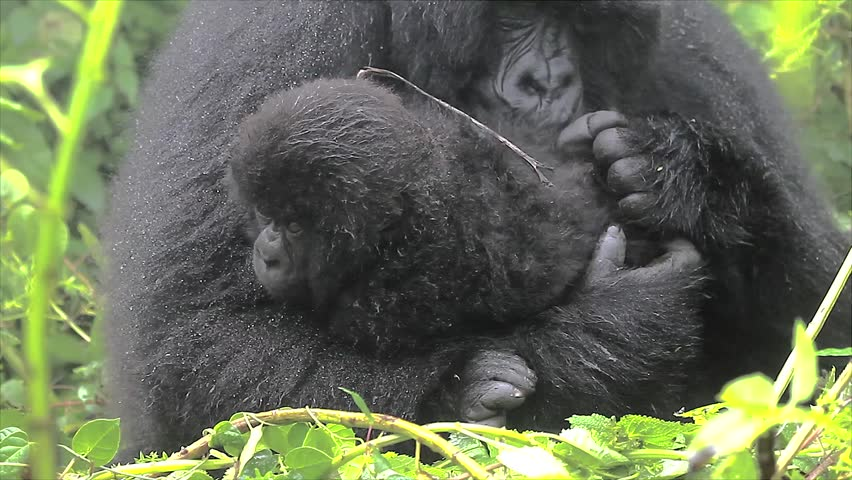 The Critically Endangered Mountain Gorilla Seen Here Caring for her Newborn Baby in Virunga Mountains, Rwanda. This is the Susa Group, which was studied by Dian Fossey. - HD stock footage clip