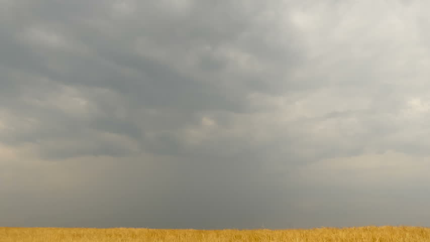 Field of wheat under storm front moves across an open field bringing rain. Time Lapse #24795713