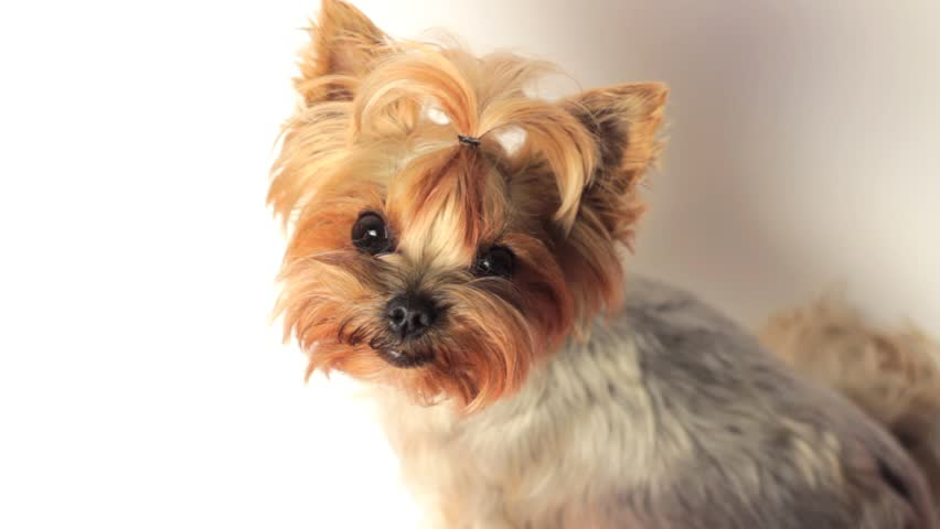 Cute Young Yorkie Looking Up Into Camera On White