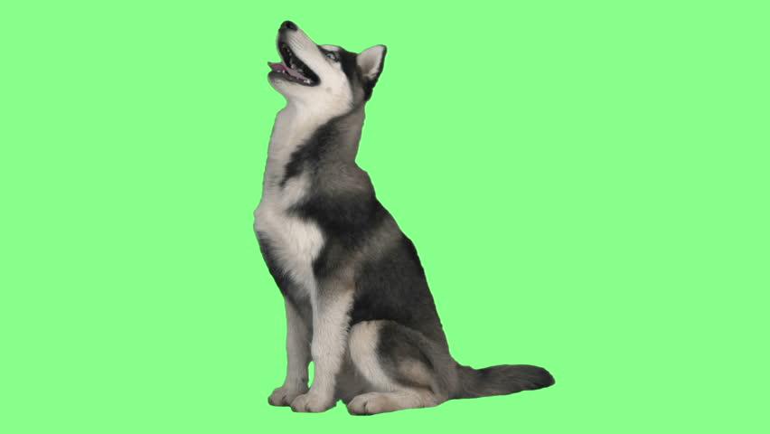 Husky look up on green screen | Shutterstock HD Video #24914081