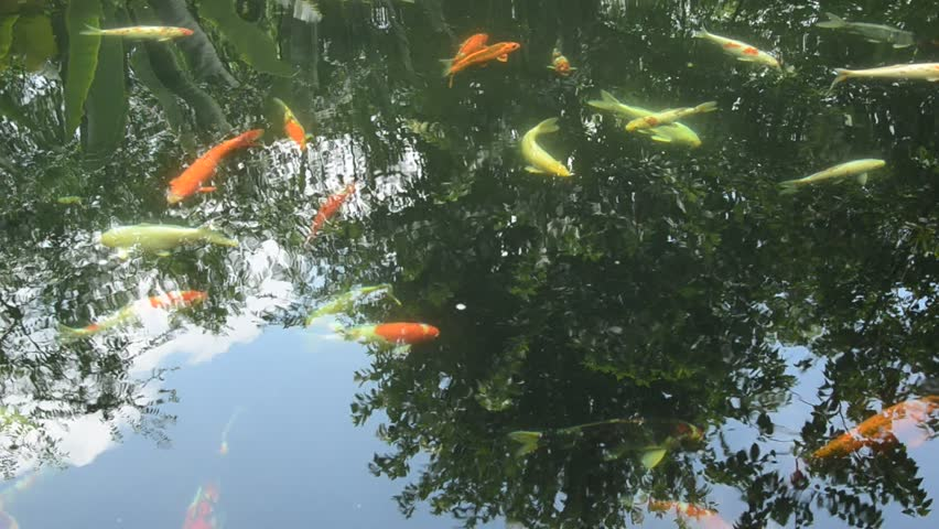 fancy carp fishes in water