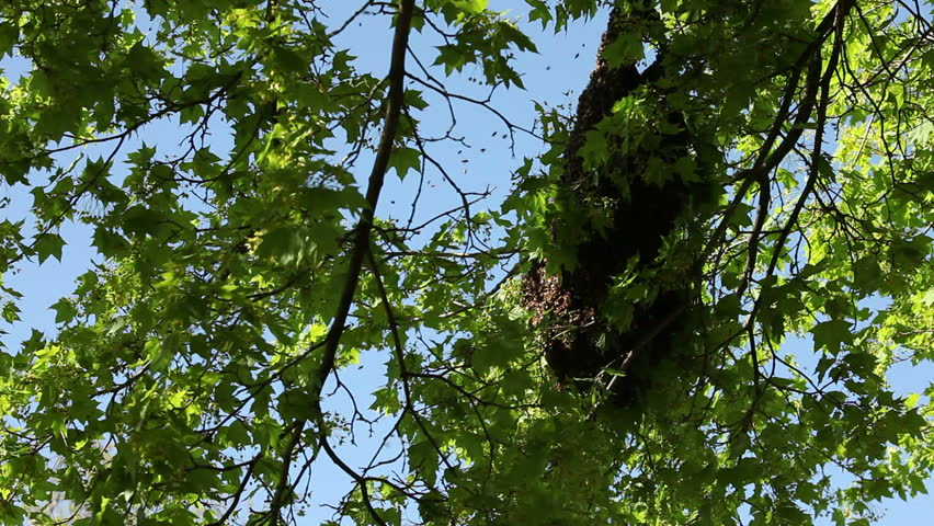 Bee's swarm around their hive in a shaded branch of a tree. - HD stock footage clip