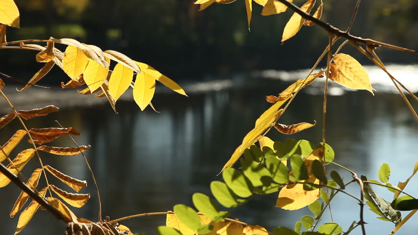 Reflected light from the water of the Boise River shines on yellow autumn leaves. - HD stock footage clip