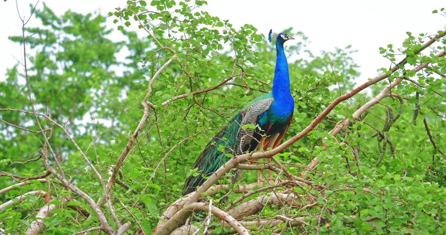 Beautiful Peacock male with vivid beautiful blue plumage. Sri Lanka wild nature of Yala National Park flora and fauna wildlife scene background | Shutterstock HD Video #25065596