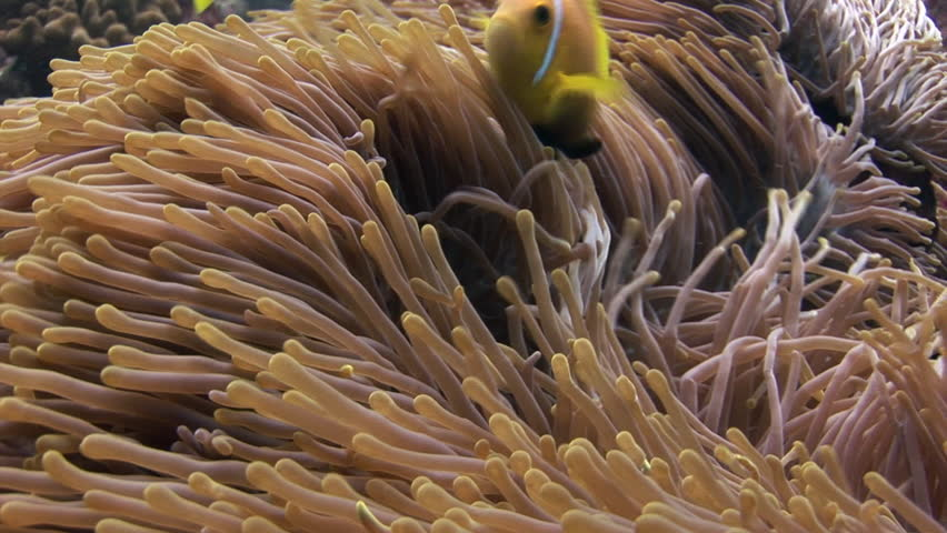 Anemone and clownfish underwater on seabed of wildlife Maldives. Deep sea diving. Travel in world of unique colorful beautiful ecosystem nature. Wild wonderful marine tourism. | Shutterstock HD Video #25071050