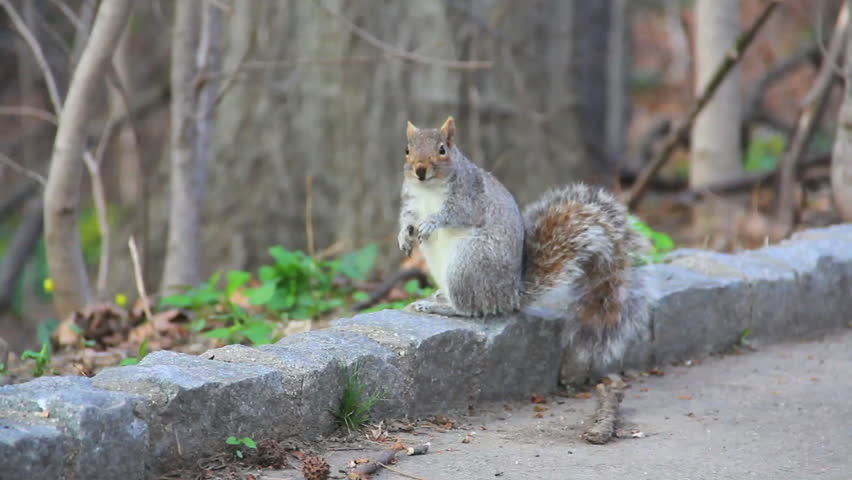 Squirrel in park looking at camera while chewing, then picking up a nut and eating it. - HD stock video clip