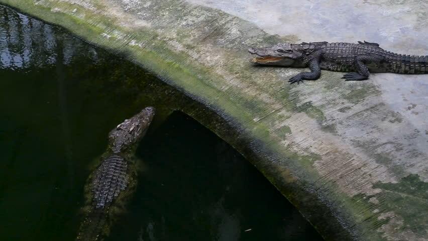 Crocodile Farm. Crocodile closes and opens the mouth   Shutterstock HD Video #25192658