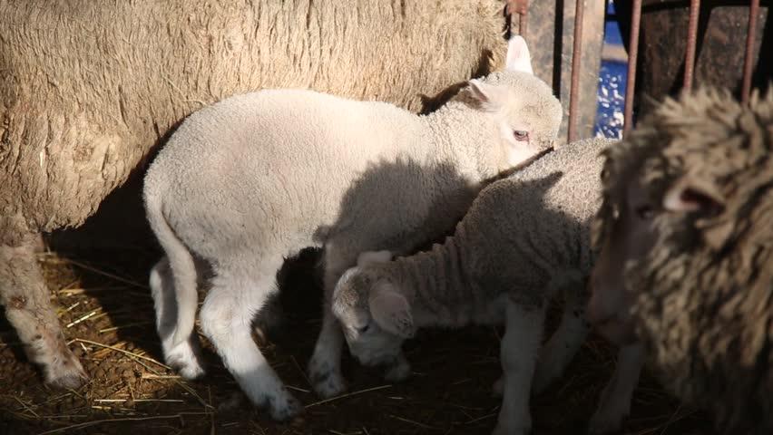 Baby sheep   Shutterstock HD Video #25197662