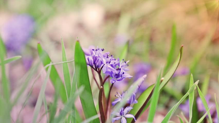 Beautiful spring flowers nature background. Wild growing blue snowdrop, Scilla bifolia, blue early spring flower in light breeze. Coloring photo with soft focus. Copy space. | Shutterstock HD Video #25216364