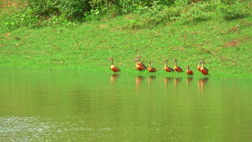 Flock of Lesser Whistling Ducks in Yala National Park on lake edge. Wild nature of Sri Lanka beautiful landscape | Shutterstock HD Video #25222394