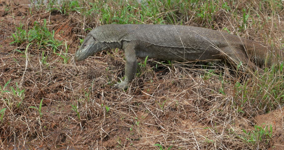 Large lizard animal crawls on muddy swamp in Yala park, Sri Lanka. Wild animals in natural habitat nature   Shutterstock HD Video #25222466