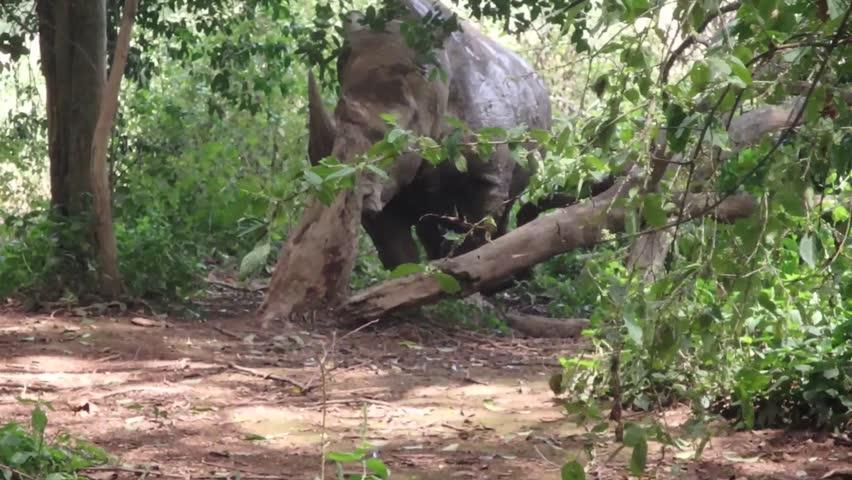 Adult rhinoceros in woods of Uganda, Africa on sunny day.   Shutterstock HD Video #25240727