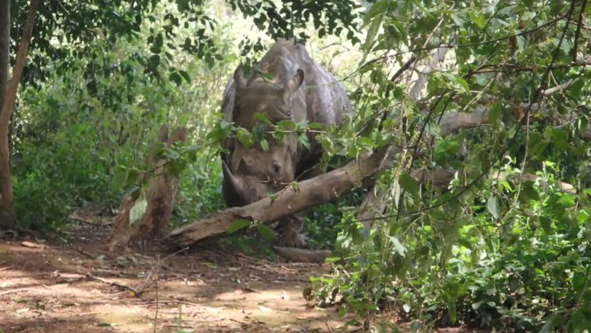 Adult rhinoceros in woods of Uganda, Africa on sunny day.   Shutterstock HD Video #25244084