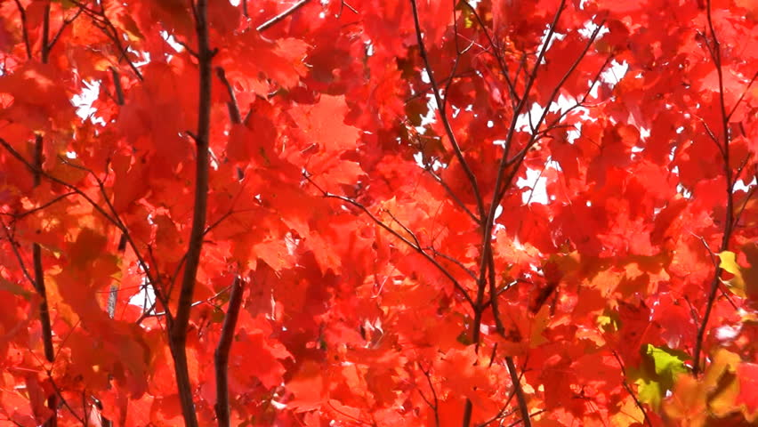 Canadian Sugar Maple Tree Turning Scarlet Red In October Autumn Fall Weather