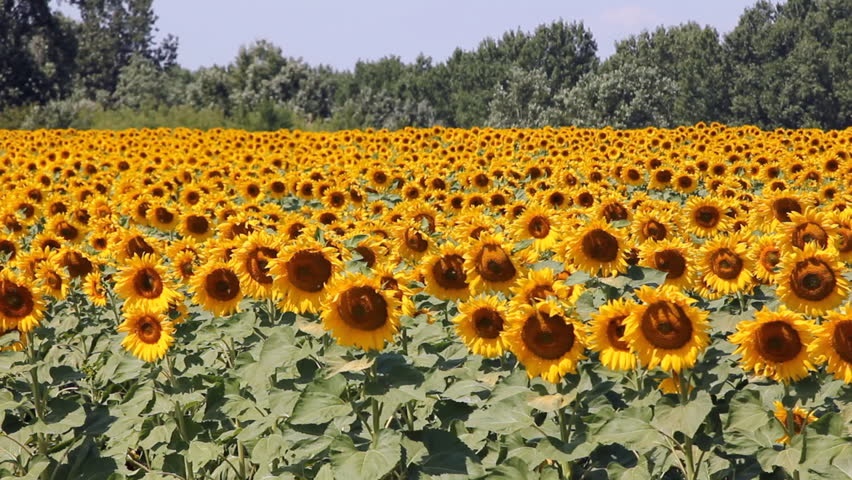 Sunflowers In A Field Beauty In Nature Stock Footage