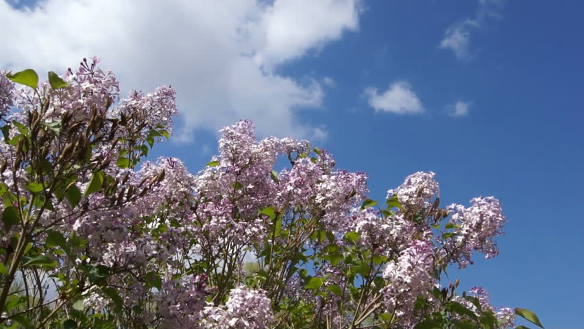 Spring flowering Lilac branch against the blue sky with a white cloud, gently swaying of the wind. | Shutterstock HD Video #2537030