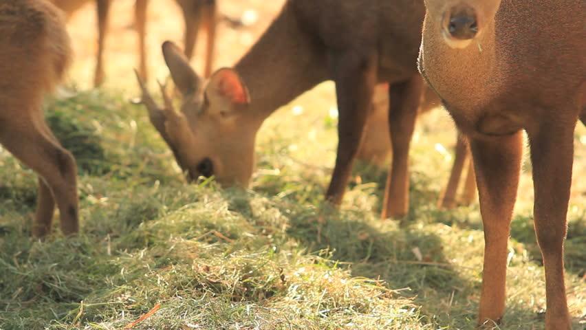 Brown deer eating grass - HD stock footage clip