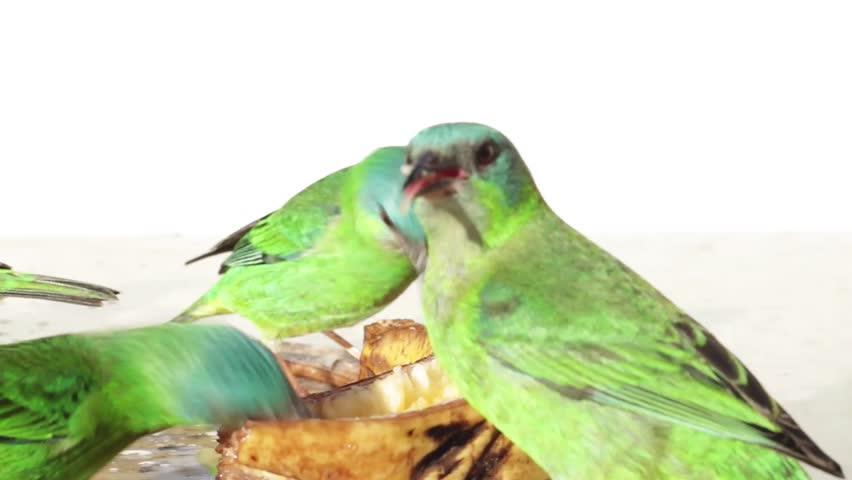 A lot of colorful green and blue birds eating banana. They are females Blue Dacnis. Camera slide to the left and stop on a couple of them. | Shutterstock HD Video #2550638
