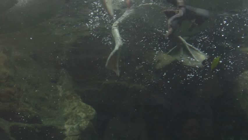 Pelican, spearfishing - HD stock video clip