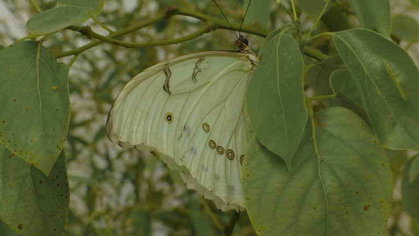 Header of Actias