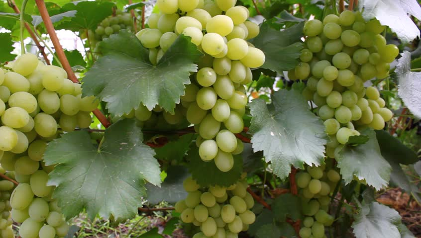 bunch of grapes in the bush - HD stock video clip