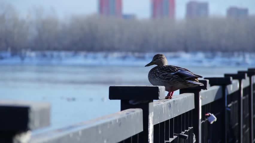 Duck sitting on a fence ang looking at river   Shutterstock HD Video #26227388